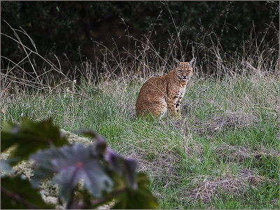Bobcat, Irvine park