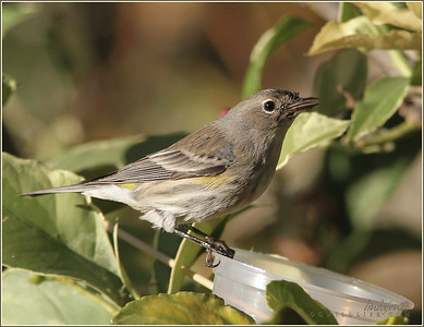 Yellow Rumped Warbler, North Irvine
