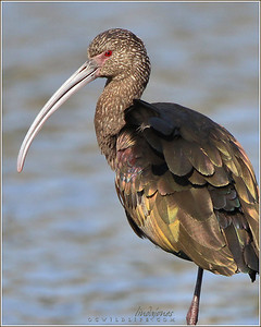 White faced Ibis, Irvine
