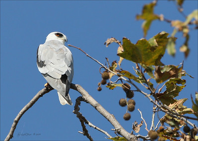 White Tailed Kite, North Irvine