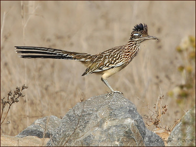 Greater Roadrunner, Central Irvine