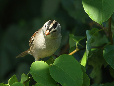 White Crowned Sparrow, North Irvine