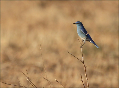 Mountain Bluebird, North Irvine