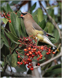 Cedar Waxwings, Irvine Ponds