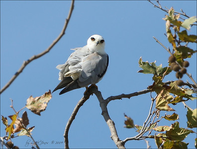 White Tail Kite, North Irvine