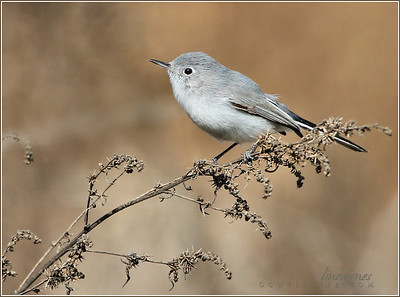 Blue-Grey Flycatcher, Irvine Ponds