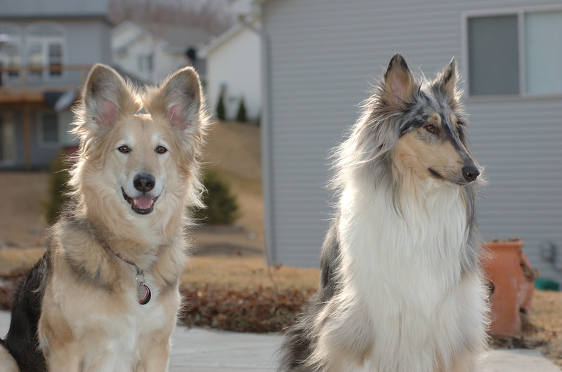 Pogo & Casey<br /> Pogo is a German Shepherd/Collie cross<br /> Casey is a Blue Merle Collie