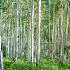 Aspen Trees in Vail