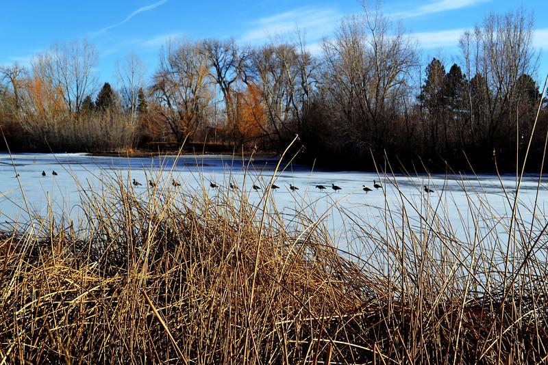 Canadian Geese in Denver Colorado Park