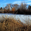 Canadian Geese in Denver Colorado Park