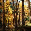 The sun shines through the Aspen trees