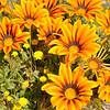 Flowers in Costa Mesa 5