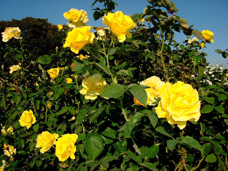 Yellow Roses at the Exposition Park Rose Garden in Los Angeles