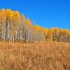 Aspen Grove in Colorado 7