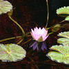 Chicago Botanic Garden Lilly Pond