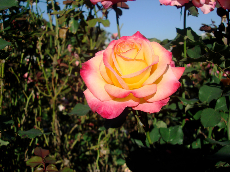 Beautiful Rose at the Exposition Park Rose Garden in Los Angeles