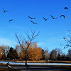 Canadian Geese in a Park in Denver Colorado