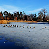 Canadian Geese in Denver Colorado Park 3