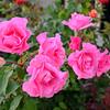 Pretty Roses in Orange County California