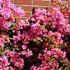 Begonia Bush in Costa Mesa California 3