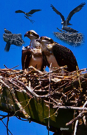 An Osprey pair building their nest in the Adirondack Mountains.
