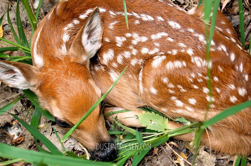 new-born fawn
