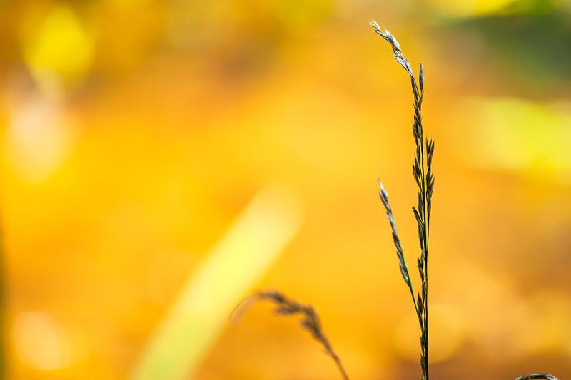 Caesar Creek State Park - Grass Blade