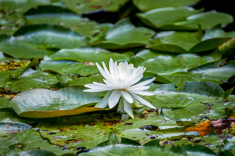 Caesar Creek State Park - Water Lilly