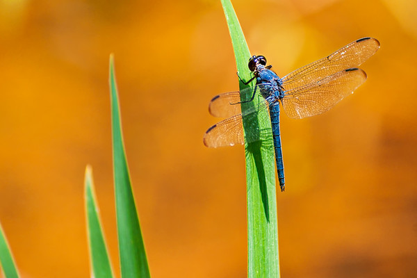 Ceasar Creek Dragonfly
