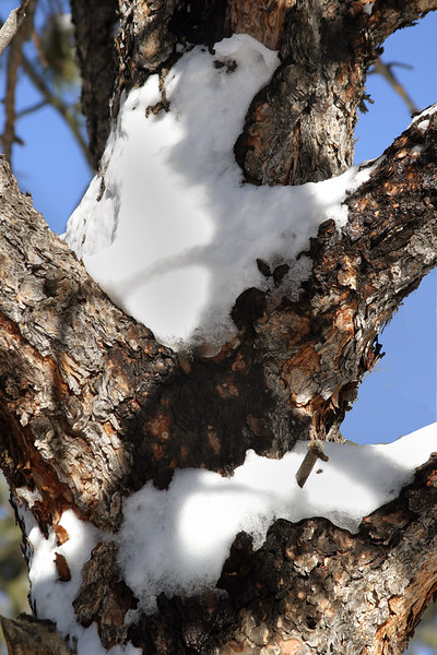 Bear in a tree, just snow that looks like a bear