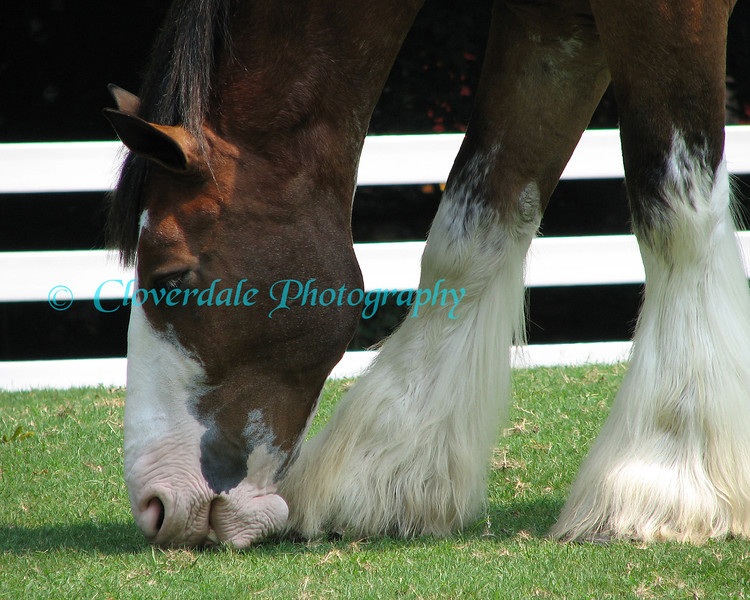8x10 Clydesdale