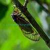 Cicadas-5912