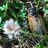 Cicadas-5915