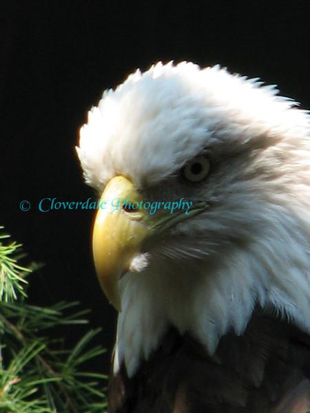 Bald Eagle 7-20-06 022