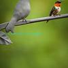 Humming_Bird-3271