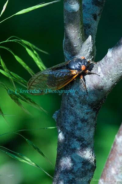 Cicadas-5901