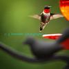 Humming_Bird-3282