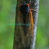 Cicadas-5905