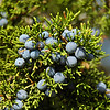 Evergreen Juniper bushes are abundant in the Hill Country. Here's a close-up view of berries produced by the Juniper.