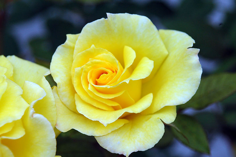 There's a yellow rose in Texas ... This bright bloom in our neighbor's yard caught my attention.