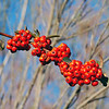 Berries of a Pyracantha bush I found growing wild on the banks of the Sabinal River.