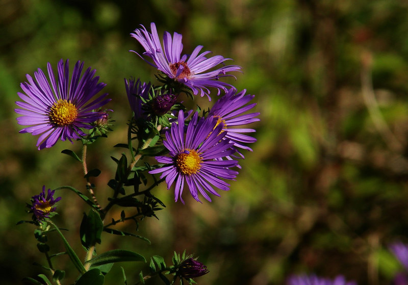 Purple Asters in Morning Light