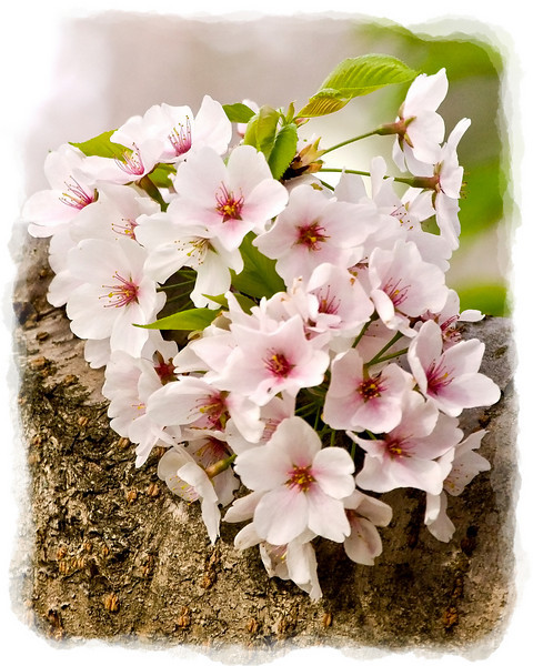 Cherry Blossoms on Cherry Tree Trunk