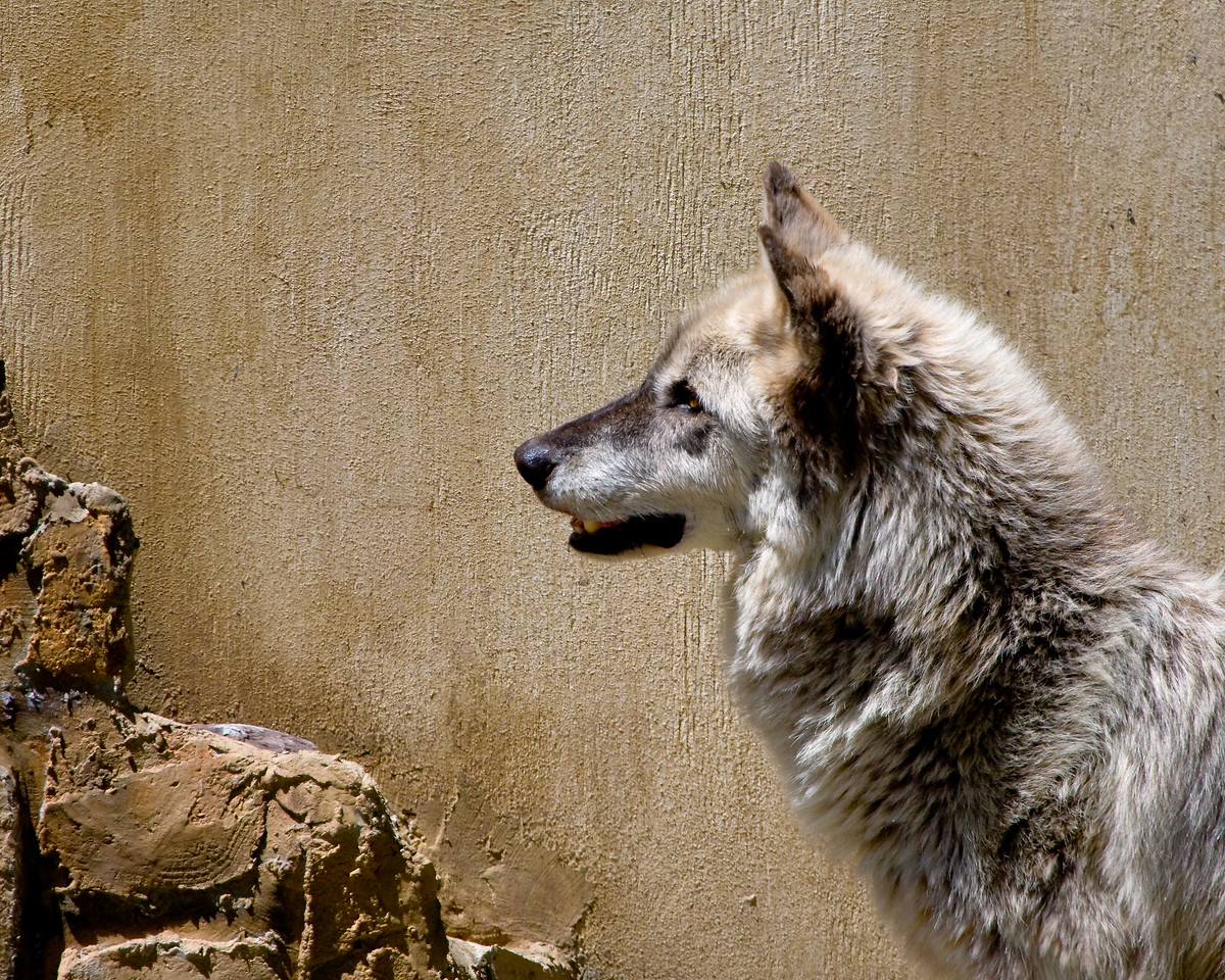 Female Black-faced Grey Wolf at Busch Gardens