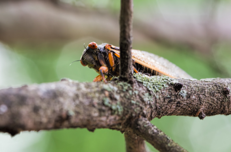 Cicada, huh, it's not the season, but these guys are leftovers, not the big explosion we're going to be seeing soon, don't know what year.
