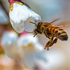 Honey Bee In flight; bokeh, Spring, blossom