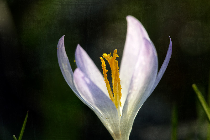 2017/03/14.<br /> Crocus with a texture.  There used to be a lot more but recently it seems like they've dwindled down to the only one left in our yard.  I'm happy I found this tiny bloom before it froze.