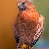 Red shouldered hawk in captivity.