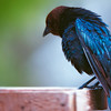 Brown-headed Cowbird.