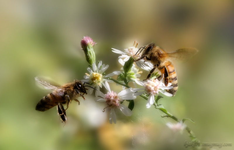 A couple of Honey Bees in the asters.<br /> Mostly processing to blur the busy background.